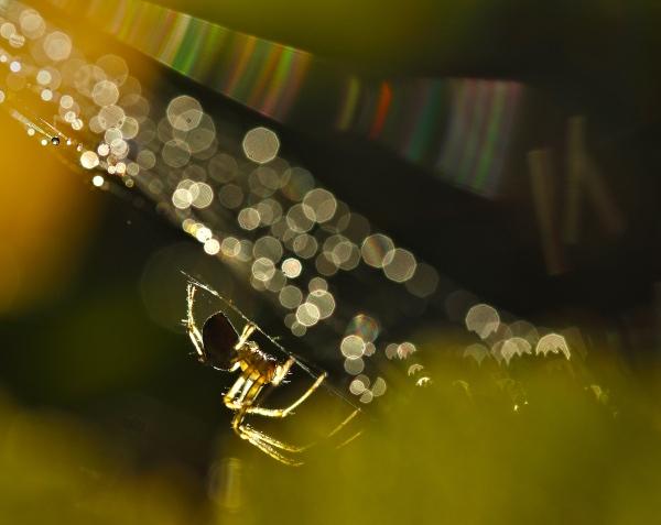 Spider's web - Edderkoppnett. Gull. © Leif Rustand