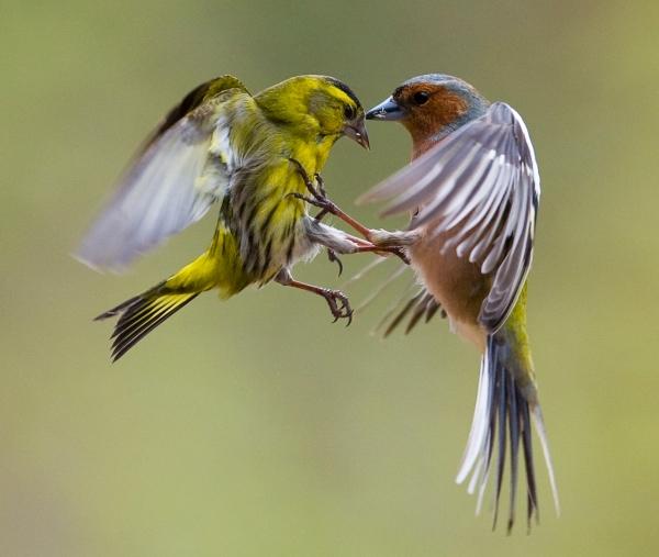 Bokfink og Sissik i kamp. 42 poeng. © Terje Sylte