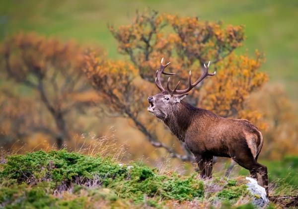 Hjortebrøl. 41 poeng. © Terje Sylte
