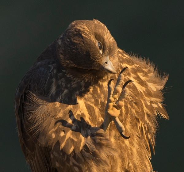 Jaktfalk ser klo. 42 poeng. © Terje Sylte