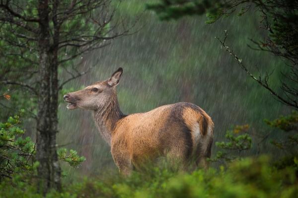 Hjort i regnvær. 44 poeng. © Terje Sylte