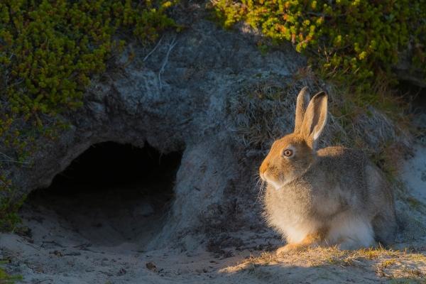 Hare i sol. Gull. © Terje Sylte