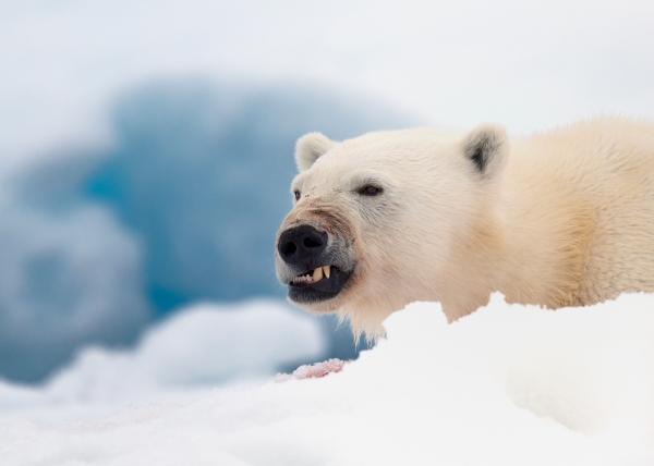 Grim isbjørn. 44 poeng. © Olav Thokle