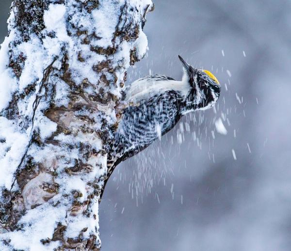 Tretåspett. Gull - 52,5 poeng. © Bernt Østhus