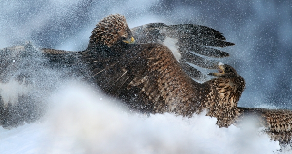 Kongeørn og havørn i snøføyka. Gull og 53,3 poeng. © Dag Norman Sværi