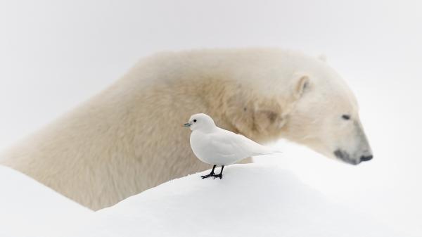 Ismake og isbjørn. Gull - 52,5 poeng. © Olav Thokle