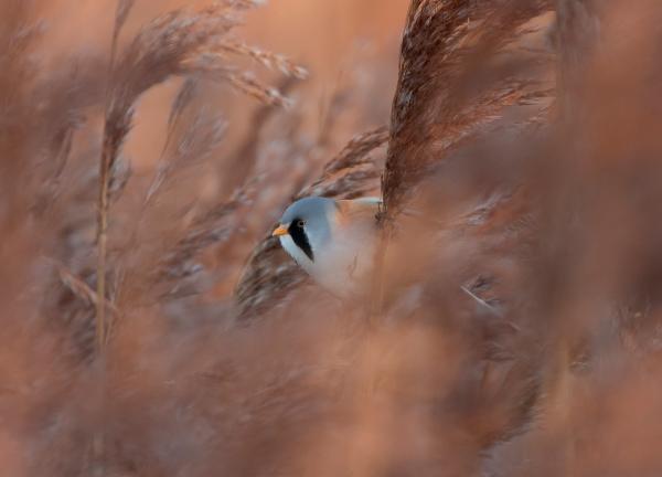 Morgensol i skjeggmeisskogen. 42 poeng. © Bjørn Aksel Bjerke