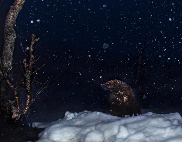 Jerv i snødrev. 42 poeng. © Vegard Lødøen