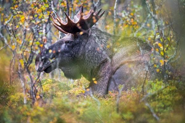 15 taggers Elgokse. 41 poeng. © Arne K. Mala