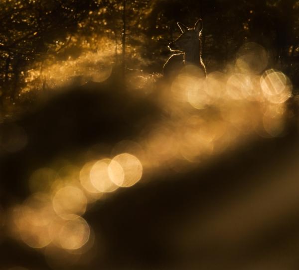 Hjortekolle i refleksdryss. 44 poeng. © Bernt Østhus