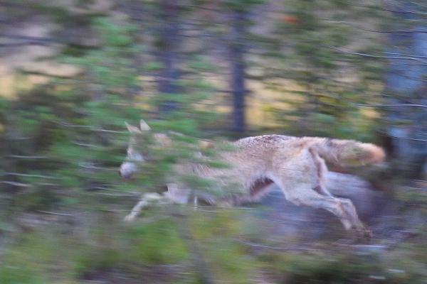 © Aslle Hjellbrekke/NN. Vill ulv i Finland på sprang kl. 23, juli 2016