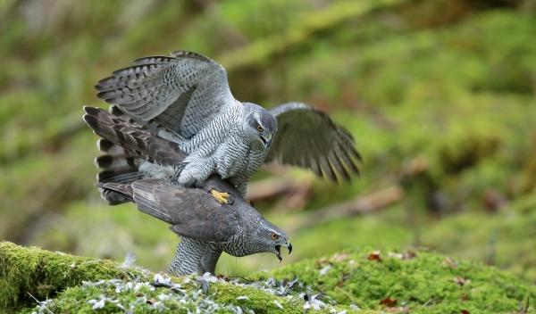 Hønsehauk parring dypt inn i fjellskogen. 43 poeng. © Svein R. Johannessen