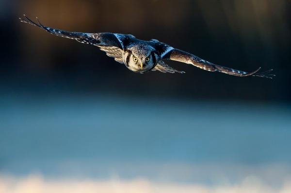 Haukugle på jakt. 43 poeng, © Jarl Ketil Johnsen