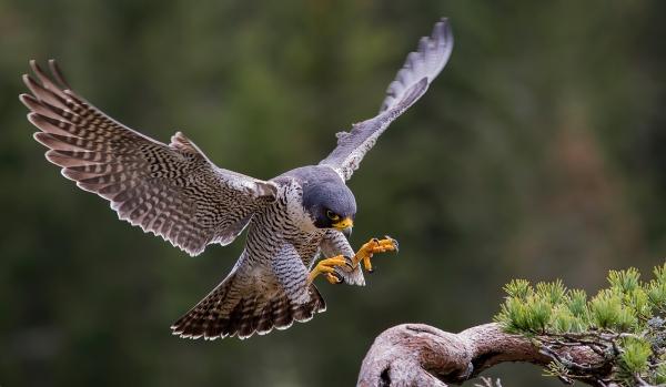 Vandrefalken lander. Gull. © Jarl Ketil Johnsen