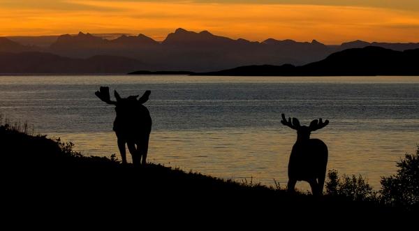 Elgokser i morgensol. 41 poeng. © Tor Oscar Lillevold