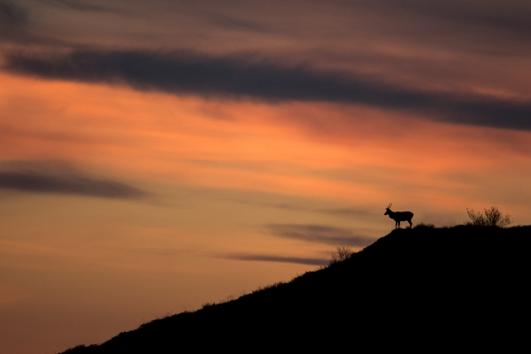 Hjort mot kveldshimmel. Gull. © Vidar Lunde