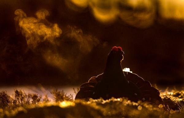 Orrhane i motlys. Gull. © Bernt Østhus