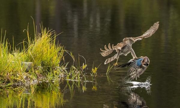 Hauken og skriken. Gull. © Duy Ahn Pham