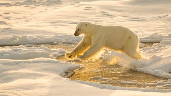 Isbjørn i motlys. 43 poeng. © Duy Ahn Pham