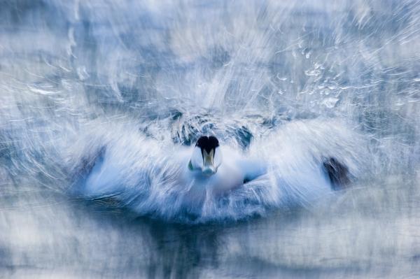 Ærfugl. Gull. © Kjartan Trana