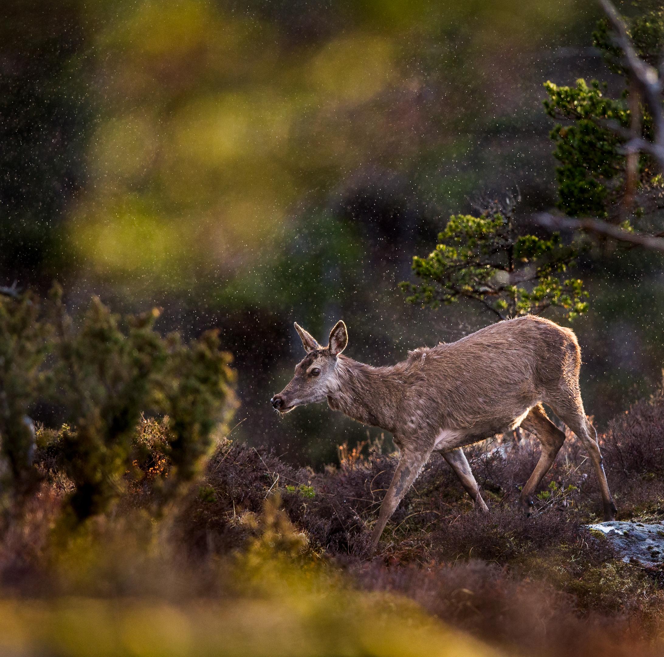 Fnr39_Hjort i vårregn